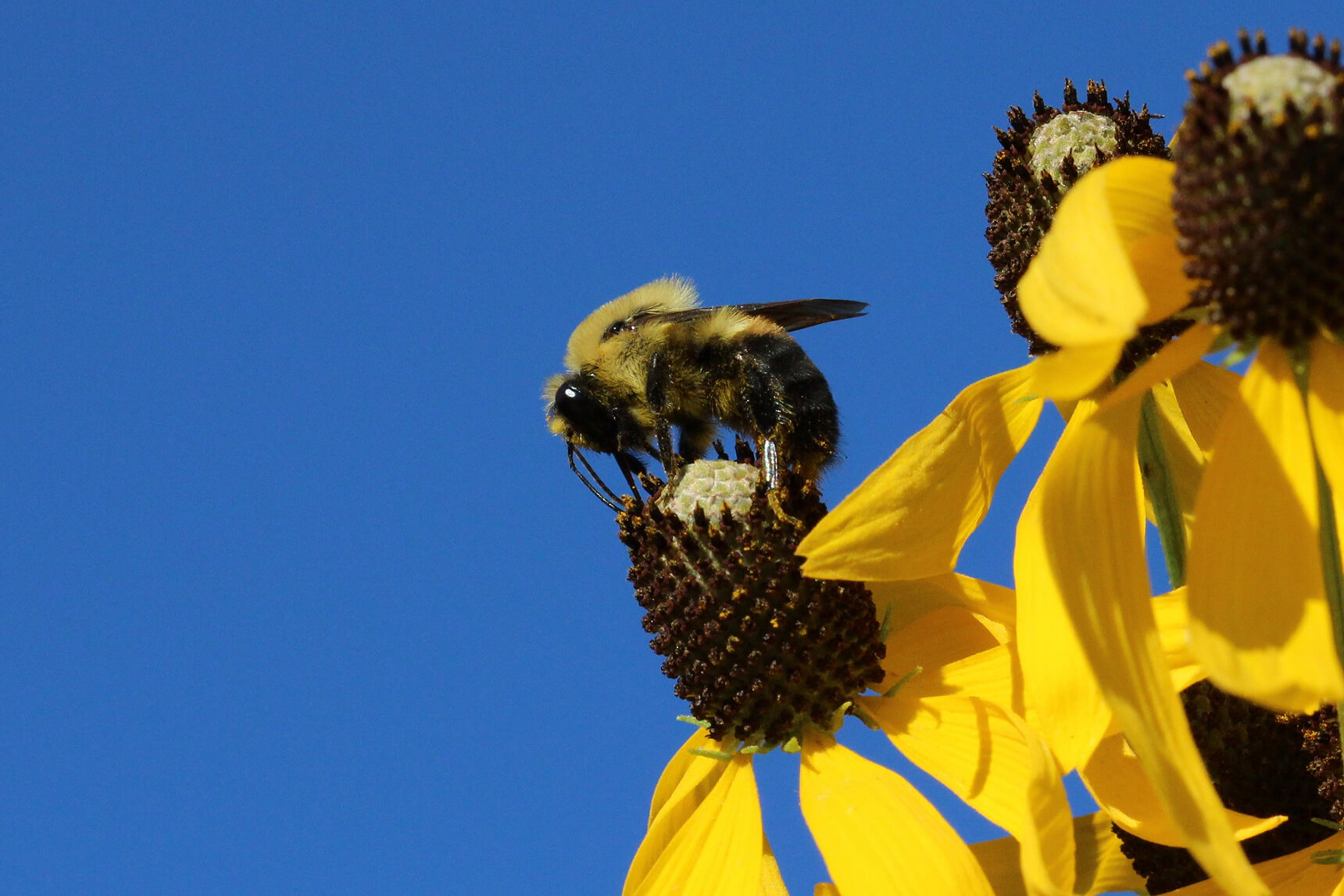 Bumblebee (Bombus griseocollis) atop a yellow flower set against a blue sky