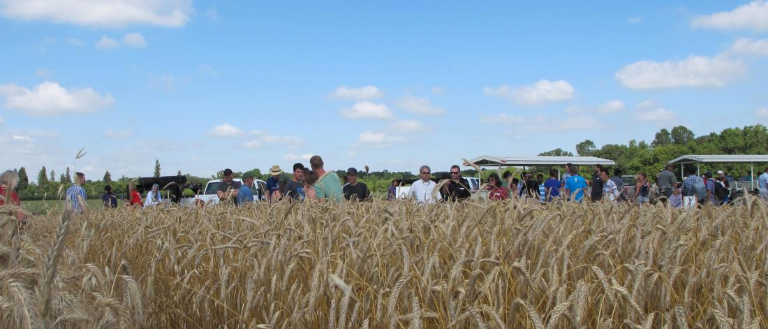 People at a field day walk through oat field.
