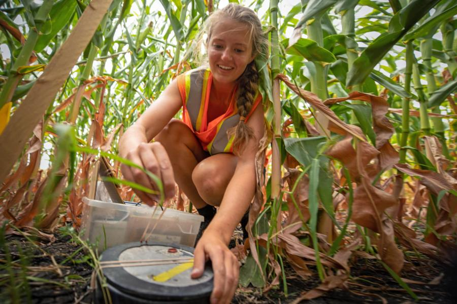 A student carefully places a piece of equipment in a corn field.