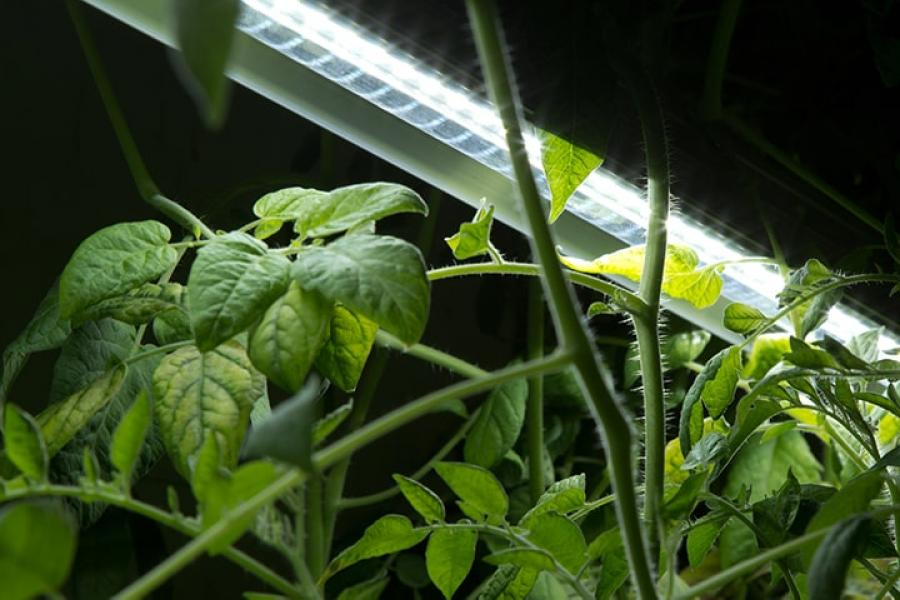 Green plants growing under light in a biosystems research lab