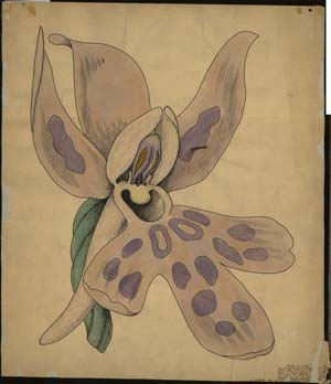 Orchis mascula, A.H.R. Buller, 1919