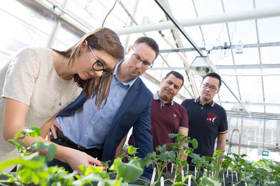 A group of four researchers inspect canola plants inside a greenhouse.